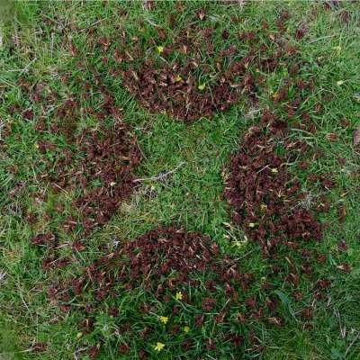 Fallen dried ash tree flowers, c.2.5ft diameter, found fallen ash tree flowers