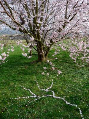 Cherry Blossom Drawing, 5ft x 7ft, found fallen cherry blossoms