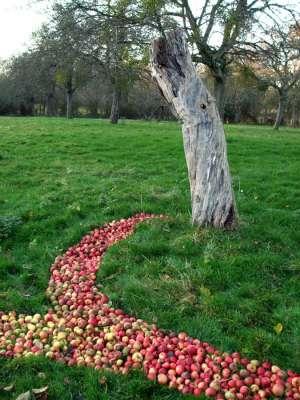 Very Old Tree, 100ft x 80ft, Windfallen Apples