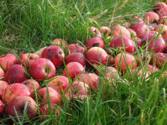 The apples, 100ft x 80ft, Windfallen Apples