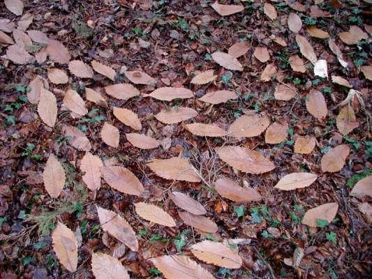 sweet chestnut leaf drawing
