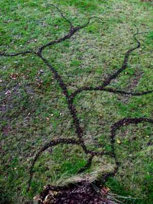 Oak Knopper Gall Drawing, 15 x 20ft, Oak Knopper Galls