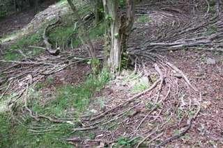 and circling around hazel tree 2